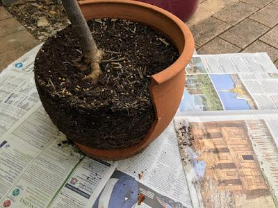 Smashing success: repotting my curry leaf tree