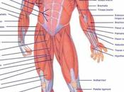 Muscles Anterior Full Body Diagram Muscle Diagram, Muscle, Anatomy Groin Muscular System.