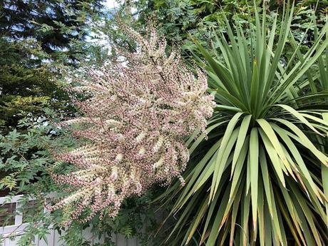 Cordyline australis in bloom