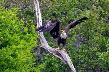 Eagle vs Osprey