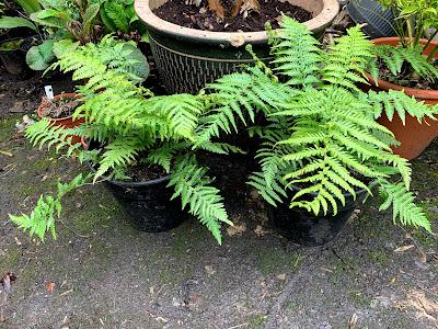 A tree fern update - and then there were five....