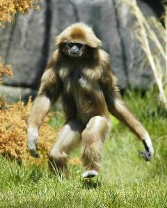 Some say that Orang Pendeks are just misidentified gibbons, but I doubt if this is true. There are gibbons that live in the area also, but villagers insist that the two are different creatures.
