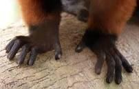 lemur claw