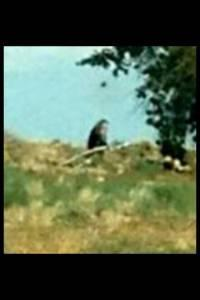 Same photo zoomed in. This photo is very odd, but the size and shape looks a lot like a Bigfoot. In addition, Harris' contacts are probably good and I doubt if there are a lot of sophisticated hoaxers on the Navajo Reservation.