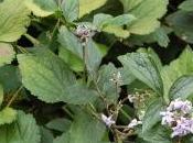 Plant Week: Clematis Heracleifolia