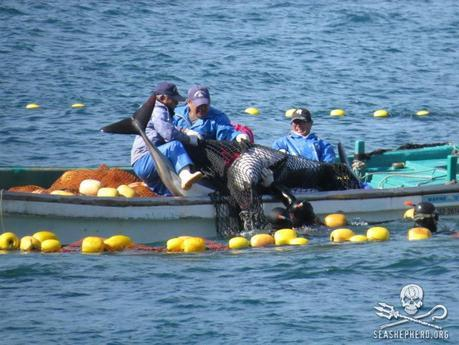 32 Pacific White-sided Dolphins were captured in 2012/2013. 8 were killed and 24 went to live-capture. Photo: Sea Shepherd