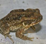Featured Animal: Marine Toad