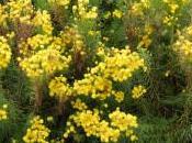 Plant Week: Aster Linosyris 'Golden Dust'