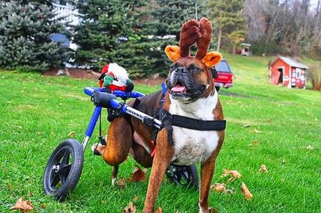 Creative Halloween Costumes for Disabled DOGS! & Creative Halloween Costumes for Disabled DOGS! - Paperblog