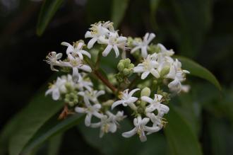 Heptacodium miconioides Flower (21/09/2013, Kew Gardens, London)
