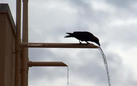 Crow and pebble !!