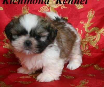 Claude was born 85 years too early; cute shih tzu puppies for adoption