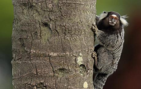 new marmoset -  Schneider's marmoset  !!