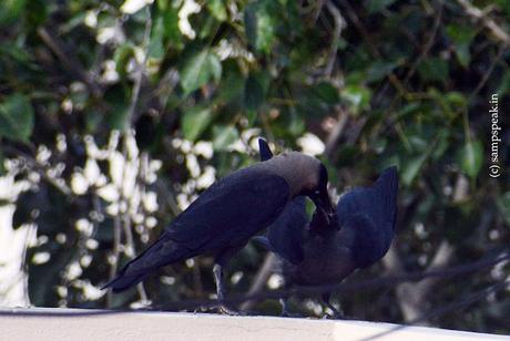 feeding Crow !!