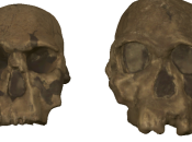 Homo Rudolfensis Slightly Older Than Previously Thought