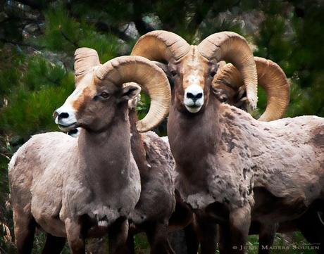 Rocky Mountain Bighorn Sheep Band of Brothers, Animal Photography, Colorado
