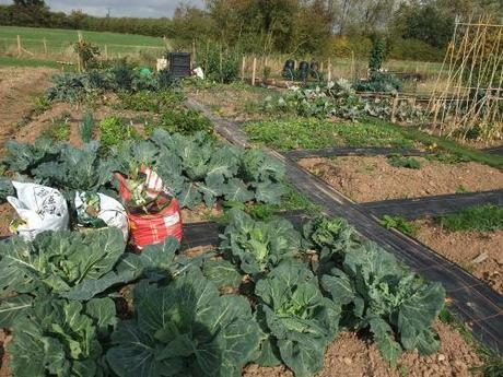Cabbages looking alright, if you don't look too closely