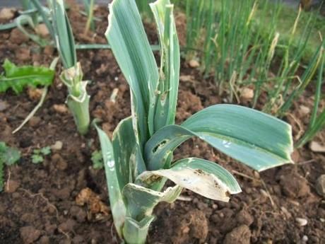 Allotment Update – Leek Moth!