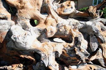 Oldest tree in North America Bristlecone Pine may be 2,000 years old