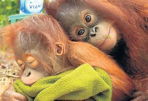 Please Help... Trilogy Campaign to Save Endangered Orangutans in Borneo!