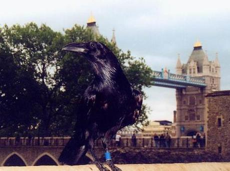 A Raven @ The Tower Of London