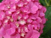 Plant Week: Hydrangea Macropyla