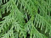Plant Week: Thuja Plicata