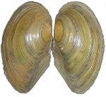 Shell of related Duck Mussel