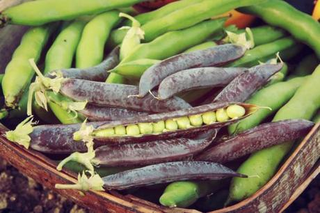 blauwschokker peas