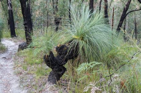 bent grass tree