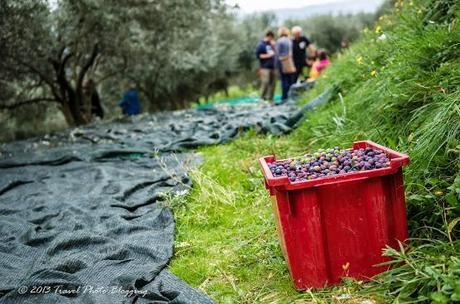 Olive harvest in full swing