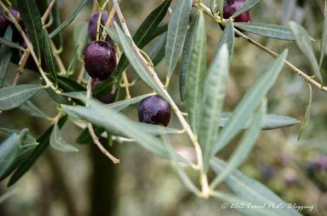 Olive harvest in full swing