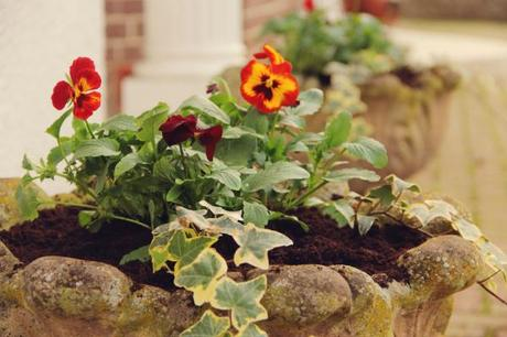 pansies and ivy urn planters