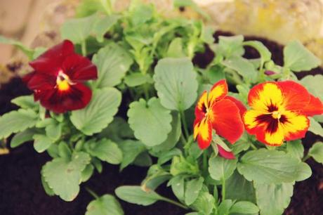 winter flowering pansies