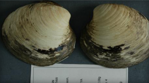 The shell of Ming the clam, photographed in 2007. / Bangor University