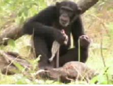 A Savannah chimp eating a bush baby she caught with a spear