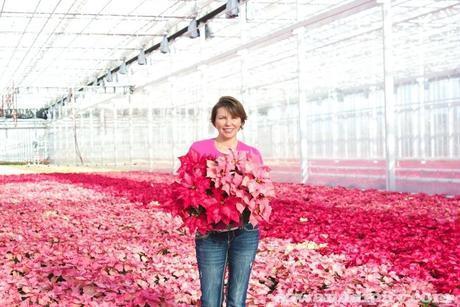 Pink Poinsettia's