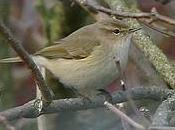 Siberian Chiffchaff Barrow Sewage Works, Leicestershire 22/11/13