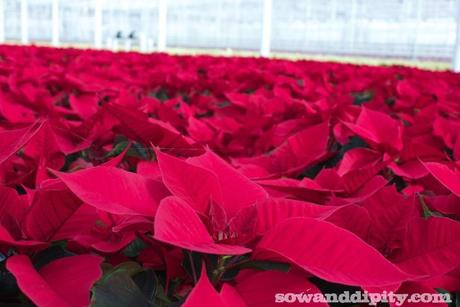How To Care For Poinsettias Paperblog