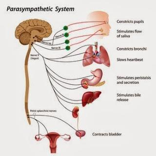 How Your Breath Affects Your Nervous System