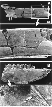 Some of the bones with tool marks from Bouri