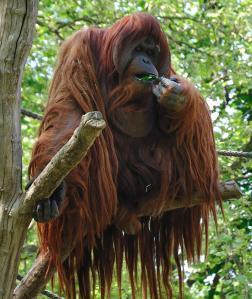 An orang-utan demonstrating their ability to grow long hair