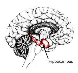 Interestingly wikipedia tells me the hippocampus is named after the seahorse (whose latin name is Hippocampus), as it resembles one