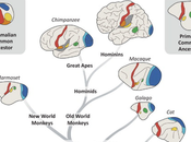 Advanced Capabilities Have Come from Separation Primary Brain Areas.