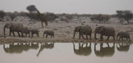 Etosha hotel water hole elephants12