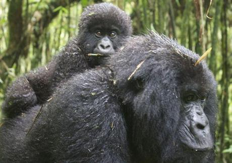 gorillas best mother and baby28