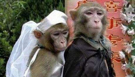 Monkeys Getting Married