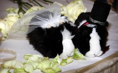 Guinea Pigs Getting Married