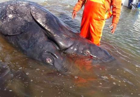 Fuku Mutation? Two-Headed Whale Washes Up On Baja, California Beach! (Disturbing Video & Images)