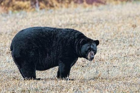 Black-Bear-at-Alligator-River-NWR-3